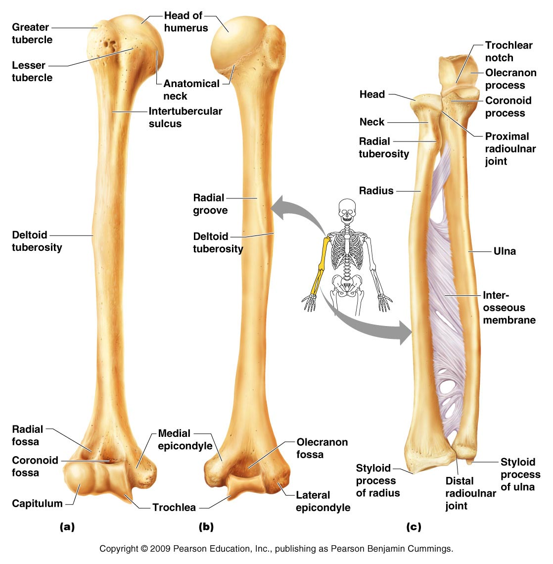 labeled diagram of the female body labeled diagram of the ulna