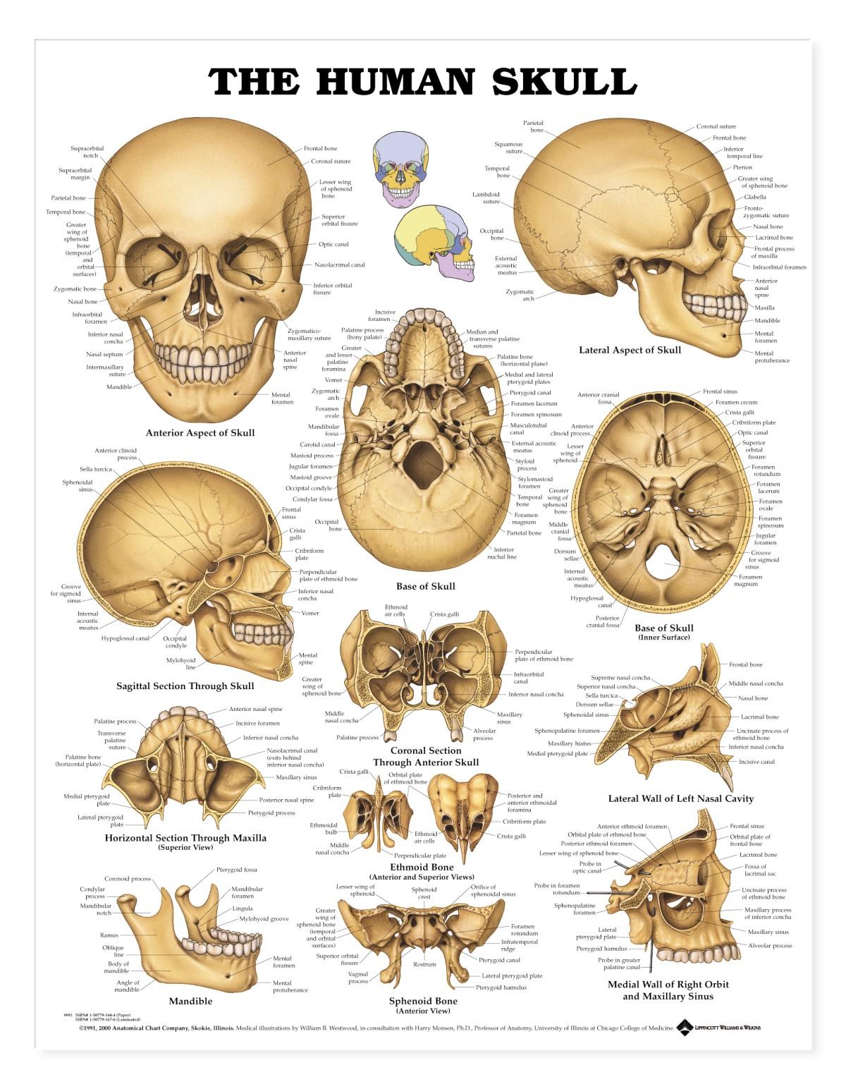 Skull parts anatomy