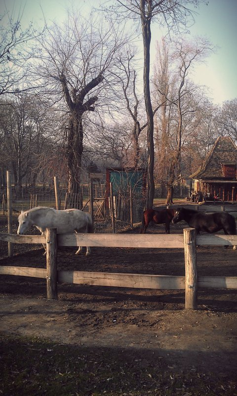zoo horses