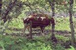 Happy Norwegian cow rubbing its head on a tree