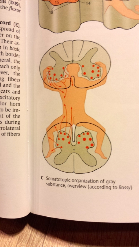 One of the interesting drawings we got to look at while studying for our anatomy midterm....