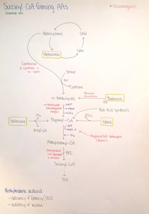 Succinyl-CoA
