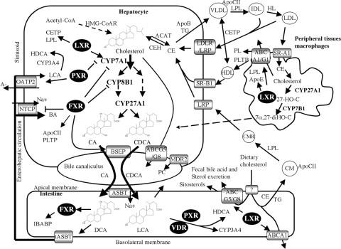 Cholesterol transport