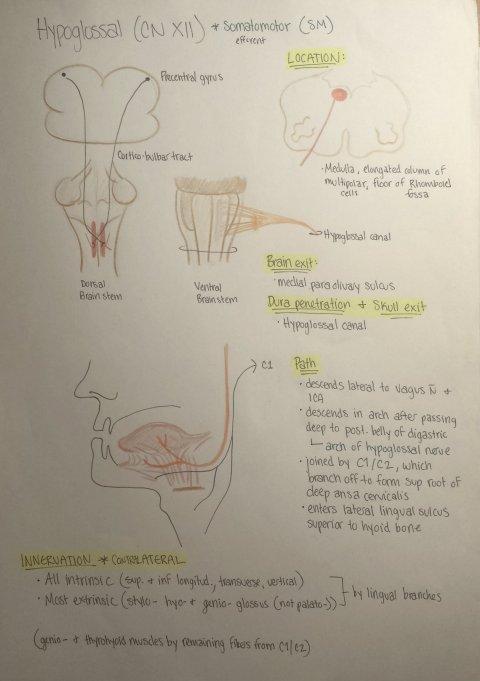 HypoglossalNerve